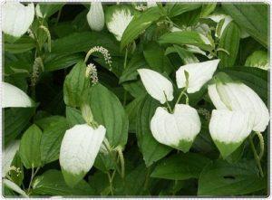 半夏生の由来はタコと半夏生の花
