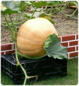 ハロウィンのかぼちゃの品種は アトランティックジャイアント